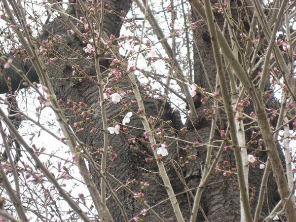 サクラの花、開花しました。サムネイル