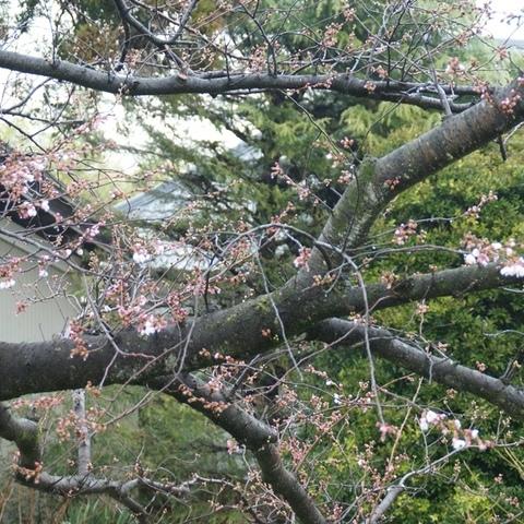 今年も桜の花が咲きました。サムネイル